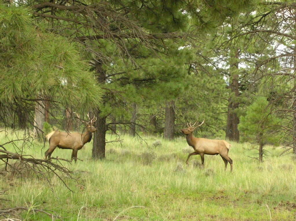 Cheyenne Mountain Elk